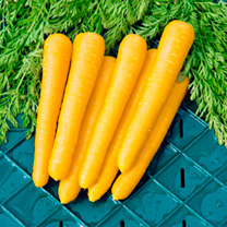 Image of Carrot Seeds - Gold Nugget F1