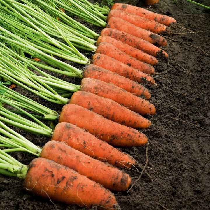 Carrot Seeds - Cascade F1