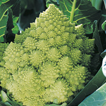 Cauliflower Plants - Gitano