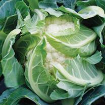 Cauliflower Plants - Sapporo