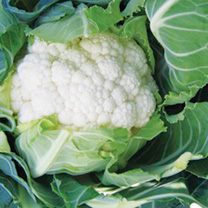 Image of Cauliflower Seeds - Successional Harvest Mix F1
