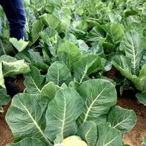 Cauliflowers Seeds - Speed Star F1
