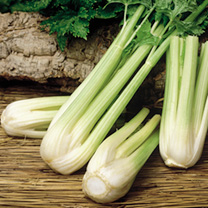 A very productive, pale-green-stemmed, self-blanching celery with good bolting tolerance. Produces very long, smooth thick ribs with good taste and te