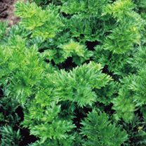 Image of Celery Seeds - Par-cel