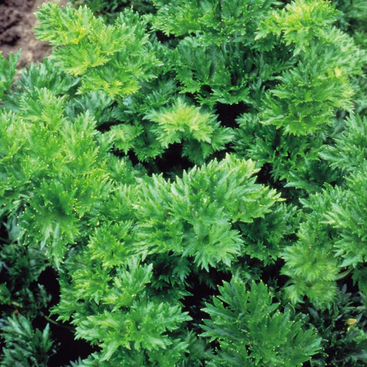 Celery Seeds - Par-cel