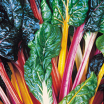 Swiss Chard Plants - Bright Lights
