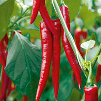 Pepper Chilli F1 Medina Turbo Plants - June delivery