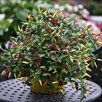 Pepper Patio Plant - Basket of Fire