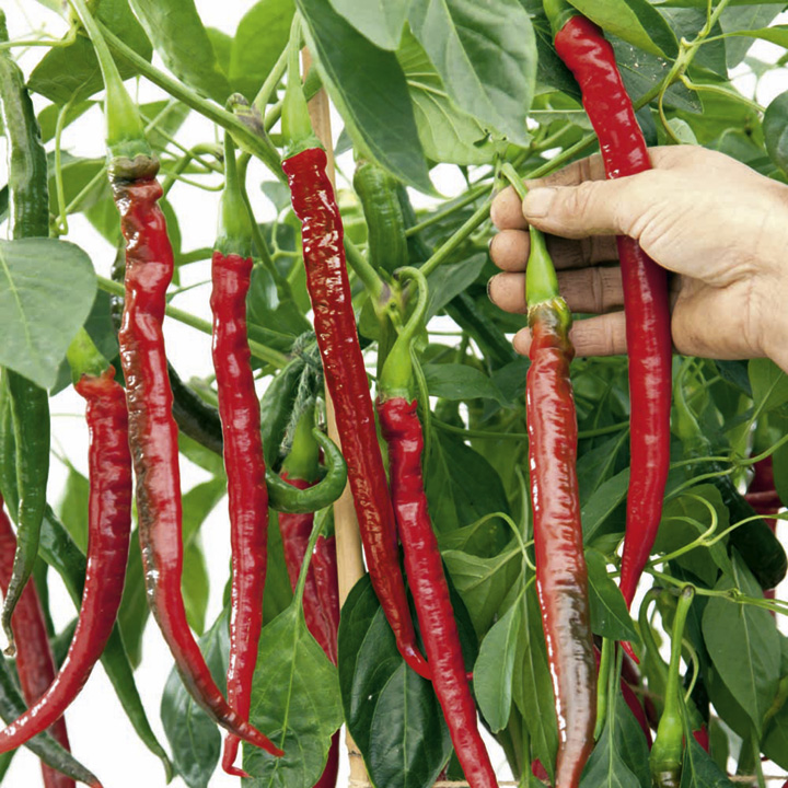 Pepper Chilli Seeds - Joe's Long F1