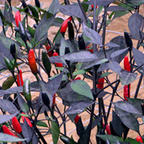 Image of Pepper Chilli Seeds - Zimbabwe Black