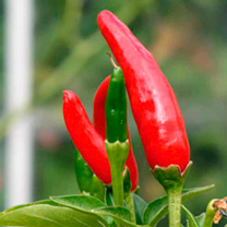 Chilli Pepper Plant - Tabasco