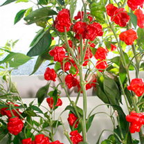 Image of Pepper Chilli Seeds - Scotch Bonnet