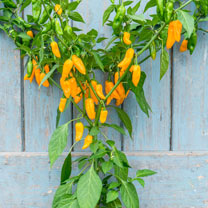 The variety is sweet with a citrus tang, yet extremely HOT. A golden-orange version of the famous Bhut Jolokia. It is early maturing for a super hot c