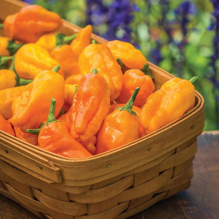 Pepper (Chilli) Pepperoncini (3)
