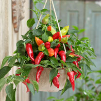 Ponky Pepper™ (Chilli) Plant - Spicy Jane