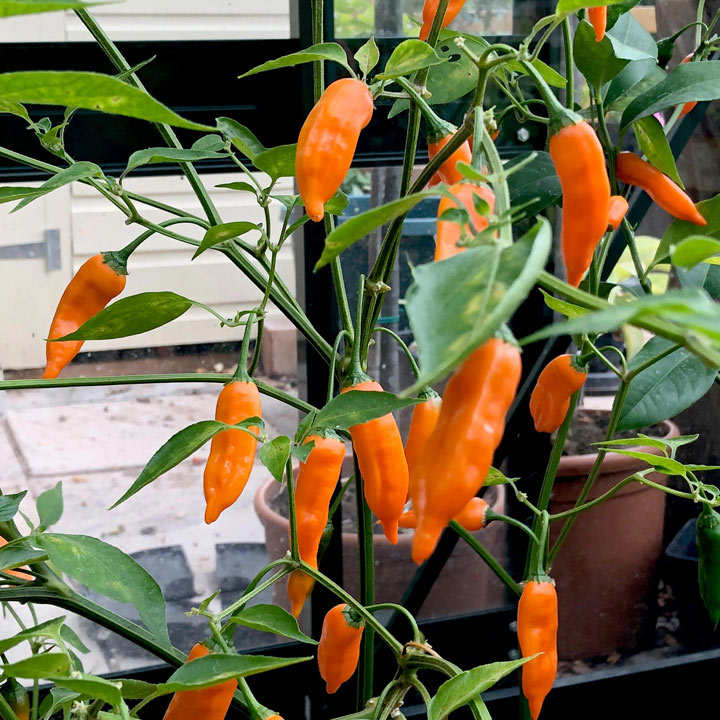 Chilli Pepper Plant - Slow Burn