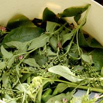 Comfrey 'Bocking 14' Plants (3)