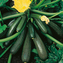 Image of Courgette Seeds - Ambassador F1