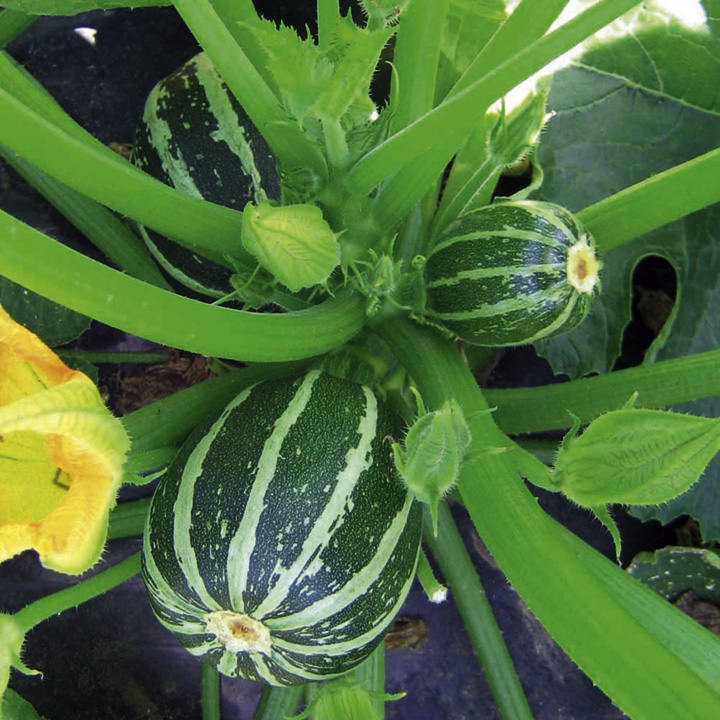 courgette piccolo f1 seeds dobies. Black Bedroom Furniture Sets. Home Design Ideas