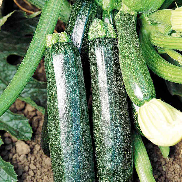 Courgette Seeds - Sure Thing Hybrid F1