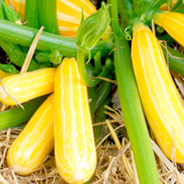 Image of Courgette Seeds - Goldmine F1