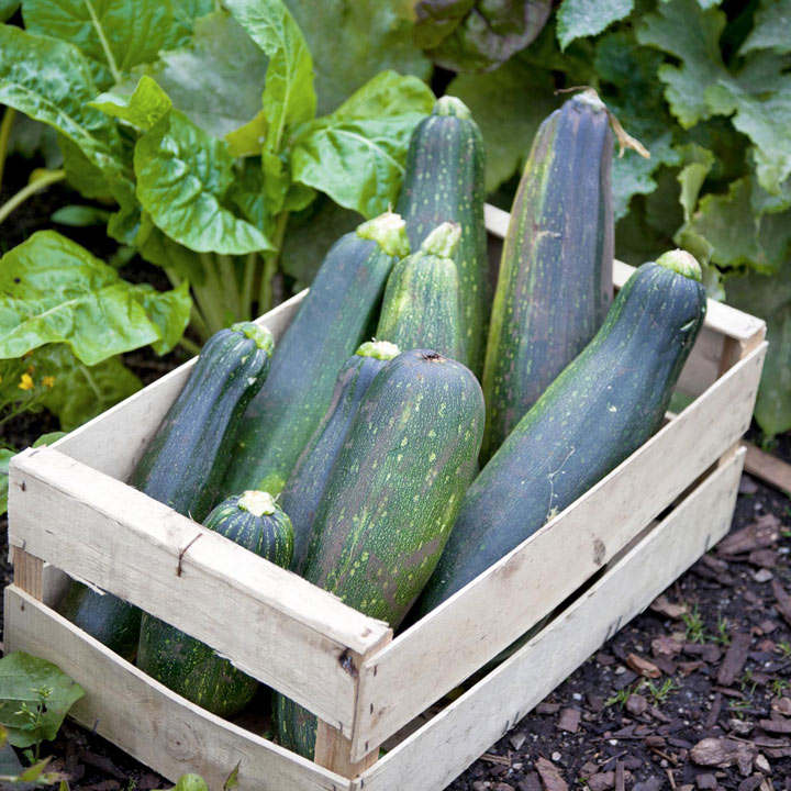 Courgette (Organic) Seeds - Black Beauty