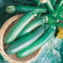 Courgette Seeds - Zucchini F1 - Triple Pack