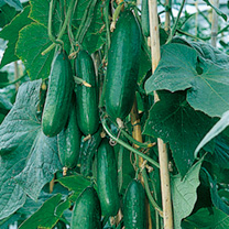 Image of Cucumber Seeds - Passandra F1