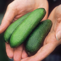 Image of Cucumber Seeds - Rocky F1