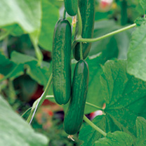 Cucumber (Organic) Seeds - Passandra F1