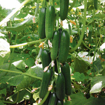 Cucumber Grafted Plants - Mini Star