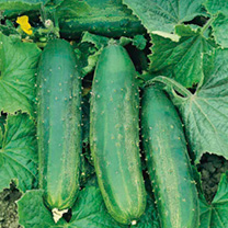 Cucumber Grafted Bush Champion