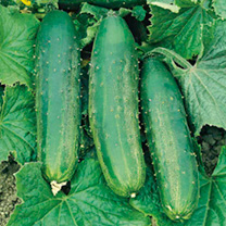 Image of Cucumber Seeds - Burpees Bush Champion F1