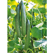 Image of Cucumber Seeds - Greenfit F1