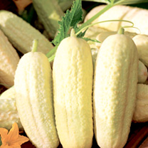 Rob says: This gorgeous little crunchy white cucumber took some finding. It was first sent to an American seed company back in 1890, from a gentleman