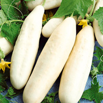 Cucumber Grafted Plants - White Wonder