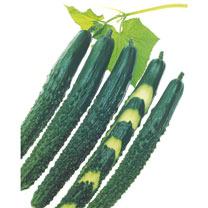 Cucumber Plants - Zipangu