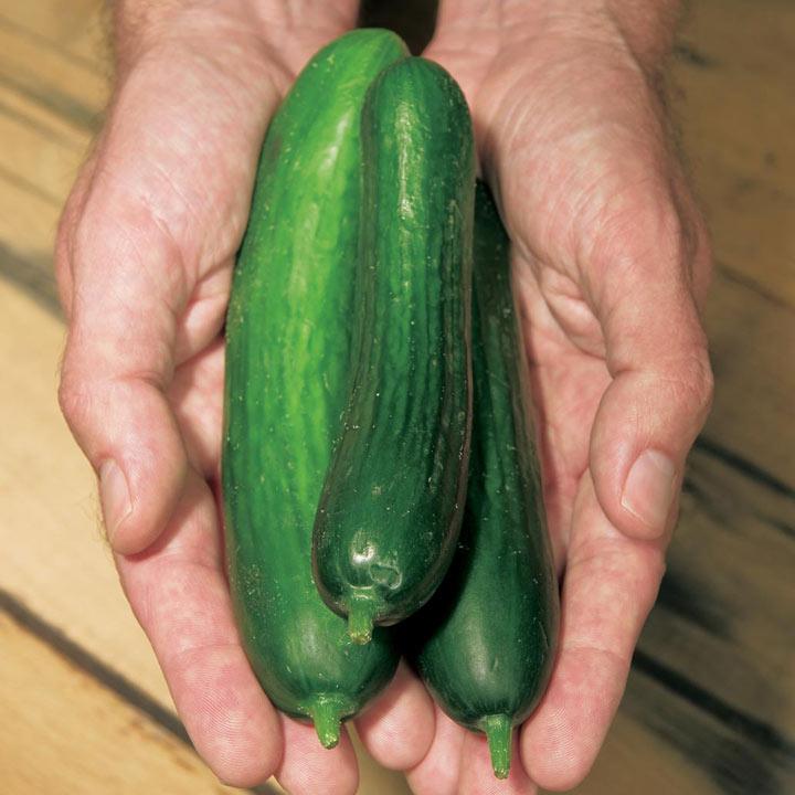 Cucumber Plants - Merlin