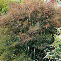 Herb Plant - Bronze Fennel