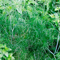 Herb Plant - Fennel Green