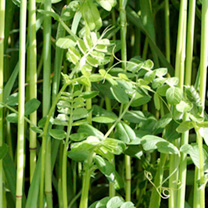 Green Manure Seed - Winter Mix