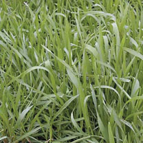 Image of Green Manure - Hungarian Grazing Rye 112g (7 sq.m)