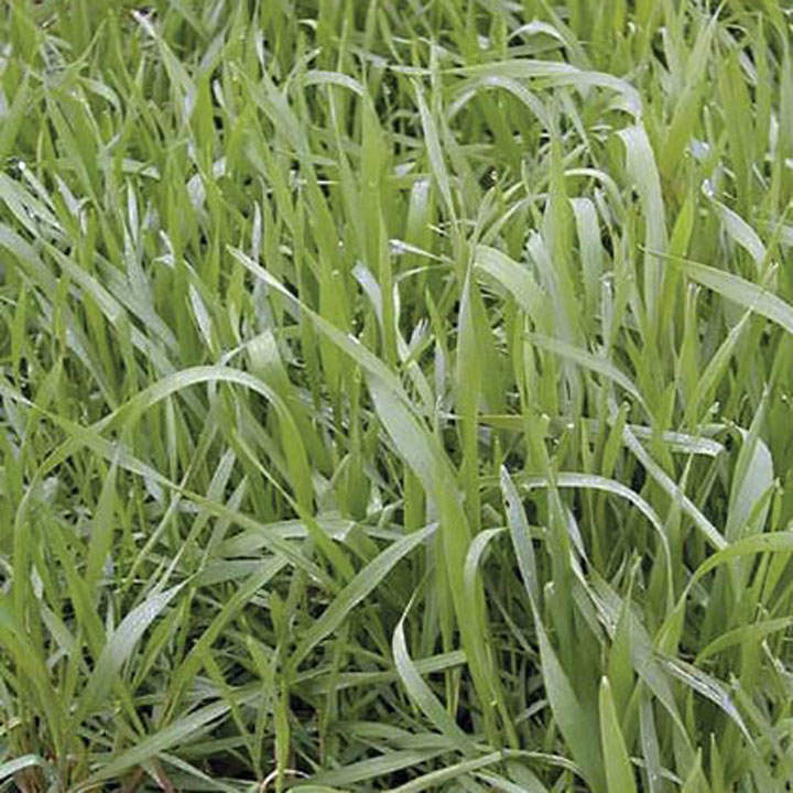 Green Manure - Hungarian Grazing Rye 112g (7 sq.m)