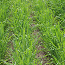 Image of Green Manure - Oats Black (Japanese) 100G