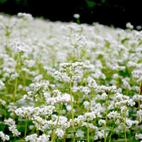 Green Manure - Buckwheat 225G (36 sq.m)