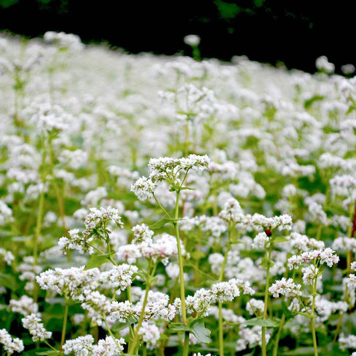 Green Manure - Buckwheat 225G (36 sq.m)
