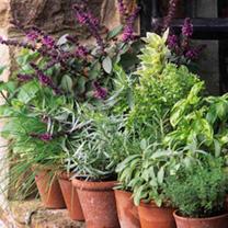 Herb Plants plus FREE Planter