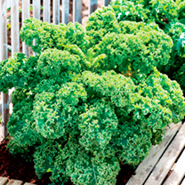 Keep Cropping Kale Plants - Dwarf Green Curled