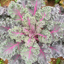Kale Plants - Gourmet Collection