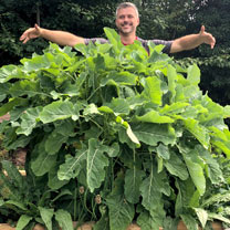 Kale Plants - Daubenton's Perennial